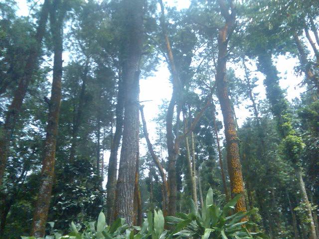 Pohon Damar Sabab Jalal